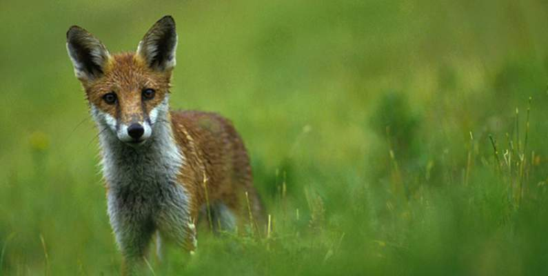 Fox cub hunted in the autumn