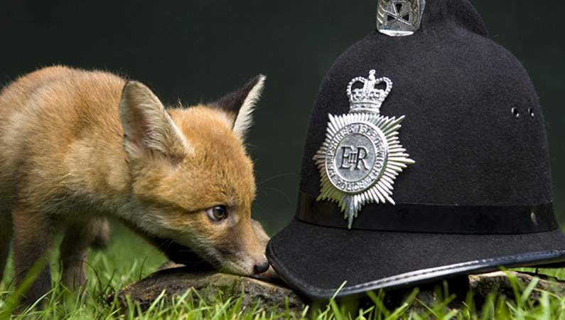 fox cub and police helmet