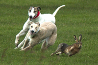 Hare Coursing banned under the Hunting Act