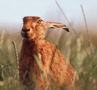 Hare Hunting is illegal