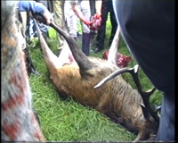 Stag carved up after being hunted